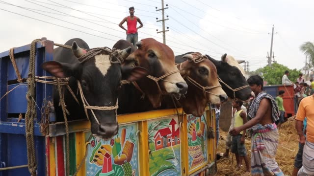 Sellers transport sacrificial animals on a truck to cattle market in Dhaka on 16 August 2018 ahead of Eidal Adha the feast of the sacrifice Islam's...