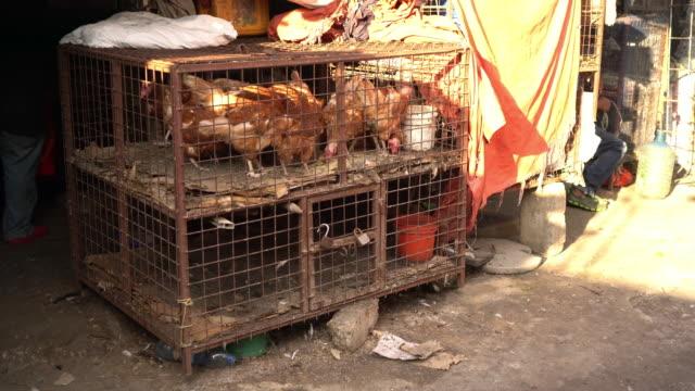 ws vendere gregge di lana al mercato - gabbia per gli uccelli video stock e b–roll