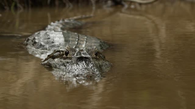 semi submerged head of yacare caiman (caiman yacare) as it slowly swims down river. - カイマン点の映像素材/bロール