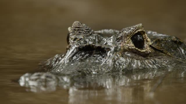 semi submerged head of yacare caiman (caiman yacare). - カイマン点の映像素材/bロール