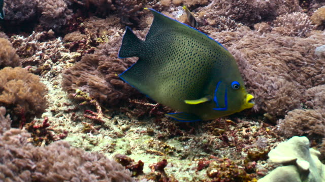 semicircle angelfish swims over reef, bali. - multi coloured stock videos & royalty-free footage