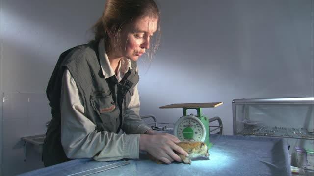 vidéos et rushes de zo a semi-conscious loris is weighed on a scale at the endangered primates rescue center / cuc phuong national park, vietnam - sauvetage
