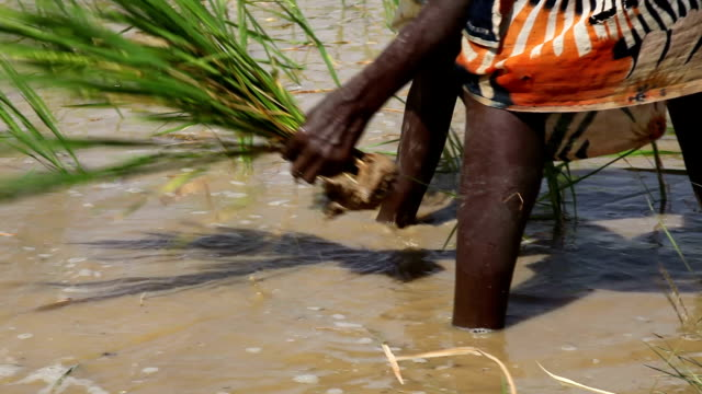 senegal, podor, woman planting paddy plant - rice plant stock videos and b-roll footage