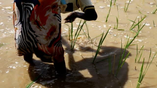 vídeos de stock, filmes e b-roll de senegal, podor, woman planting paddy plant - senegal