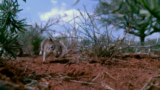 slomo sengi runs along its trail, kenya - rodent stock videos & royalty-free footage