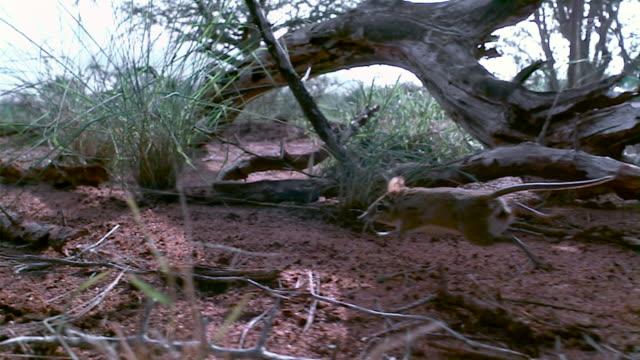 slomo sengi runs along its trail, kenya - branch stock videos & royalty-free footage