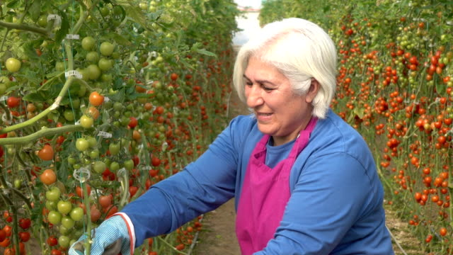 vídeos de stock e filmes b-roll de senior adult woman working in modern tomato greenhouse - maduro
