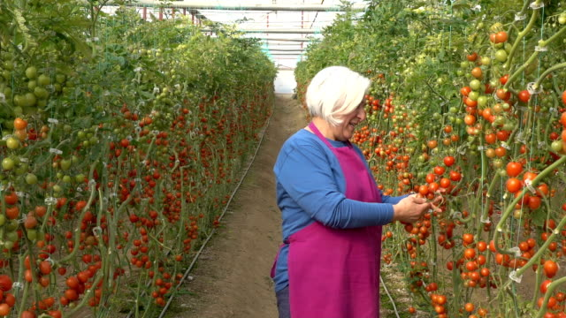 senior adult woman working in modern tomato greenhouse - selimaksan stock videos & royalty-free footage