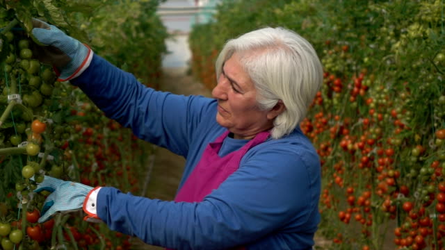 Senior Adult Woman Working In Modern Tomato Greenhouse