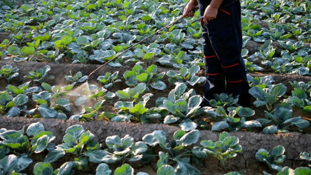 Senior agriculturist spraying pesticides on vegetable plantation