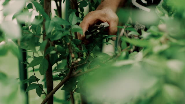 senior asian woman pruning leaf of tree - 1983 stock videos and b-roll footage