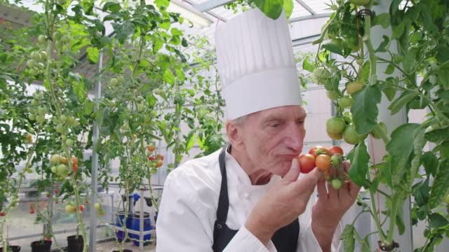 vidéos et rushes de chef principal regardant des tomates se développant dans le jardin organique - sentir