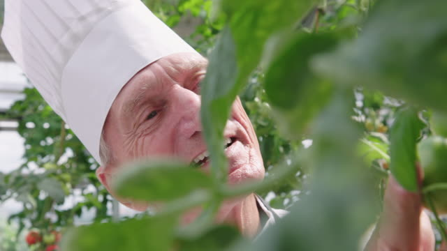 senior chef looking at tomatoes growing on plants - chef's hat stock videos & royalty-free footage