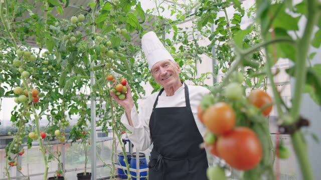 senior chef showing tomatoes in organic garden - chef's hat stock videos & royalty-free footage