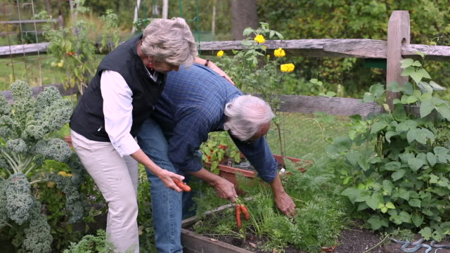 senior couple in their garden picking carrots - manchester vermont stock videos & royalty-free footage