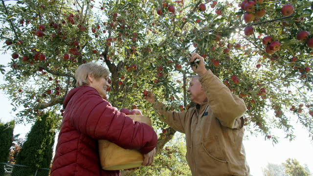 senior couple picking apples from their apple tree - orchard stock videos & royalty-free footage