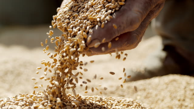 slo mo senior farmer cupping wheat grains with both hands - cereal plant stock videos & royalty-free footage