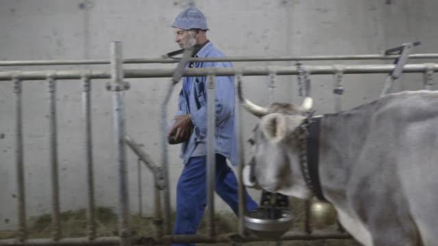 Senior Farmer feeding cows in agriculture farm