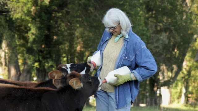 senior farmer feeding cows with bottled milk in pasture / richmond. virginia, usa - female animal stock videos & royalty-free footage