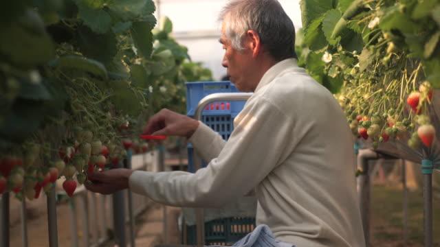 シニア農家の収穫、ストロベリー - 農業従事者点の映像素材/bロール