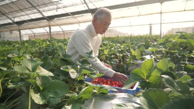 シニア農家の収穫、ストロベリー - 農作業点の映像素材/bロール