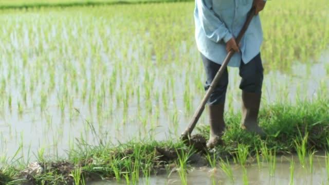 senior farmer hoeing the soil near rice sprouts in the organic rice field. - pensionati lavoratori video stock e b–roll