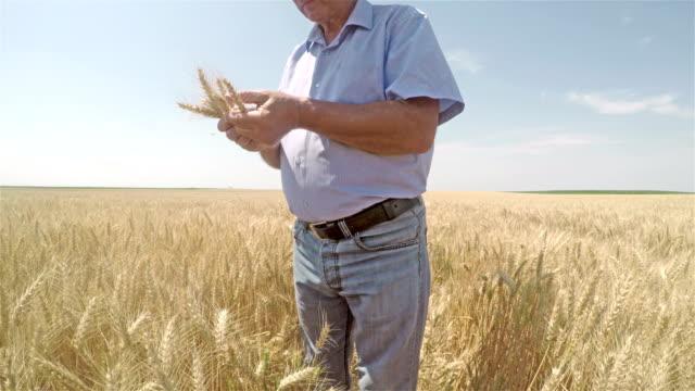 Senior farmer in a field and examining wheat crop.