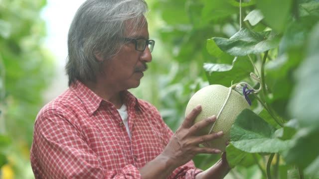 vidéos et rushes de homme de fermier aîné vérifiant la qualité des melons frais ou des usines poussant en serre soutenue, gestes de fierté - jardin potager