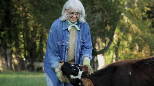 ms senior farmer petting cow in pasture / richmond. virginia, usa - streicheln stock-videos und b-roll-filmmaterial