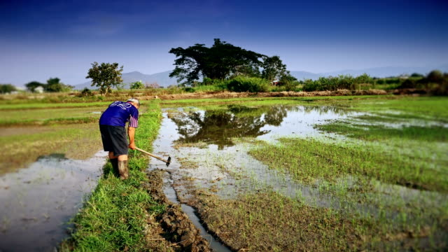 Senior farmer preparing to ensure rice field for planting.