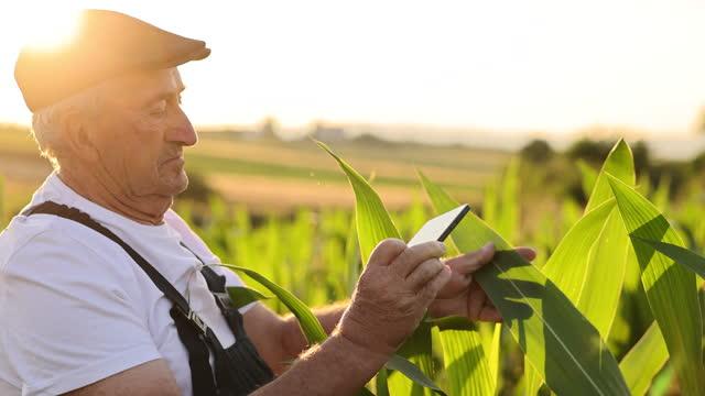 agricoltore anziano che scatta foto con telefono in un campo di mais - controllo video stock e b–roll