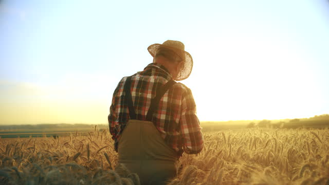 slo mo senior farmer walking through the field of wheat at sunset - 50 seconds or greater stock videos & royalty-free footage