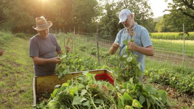 senior farmers cleaning harvested runner bean - runner bean stock videos & royalty-free footage