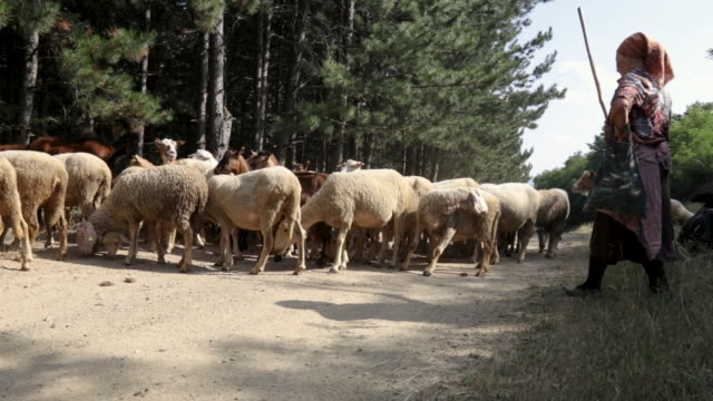 senior female shepherd and flock of sheep and goats on sunny day at mountains - shepherd stock videos & royalty-free footage