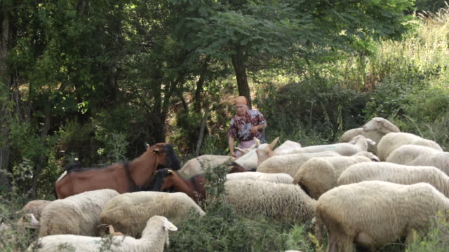 senior female shepherd and flock of sheep and goats on sunny day at mountain meadow - shepherd stock videos & royalty-free footage