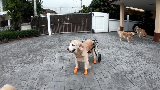 a senior golden retriever who suffers from some neurological problems can now walk with her pack again after receiving a brand new wheelchair look at... - wheelchair stock videos & royalty-free footage