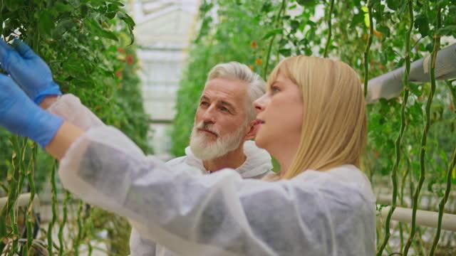 ハイテク温室でトマトの植物をチェックするシニア男性と女性の技術者 - グリーンハウス点の映像素材/bロール