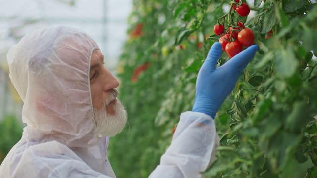 温室のトマト植物をチェックするシニア男性技術者 - グリーンハウス点の映像素材/bロール