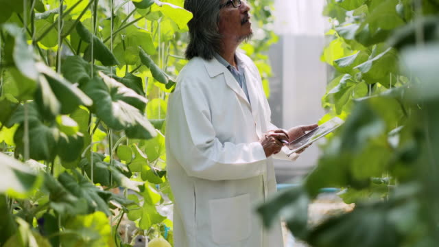 Senior man agronomist in white coat using tablet working supervising seedling's growth in greenhouse. Plant care and protection concept .Industry 4.0