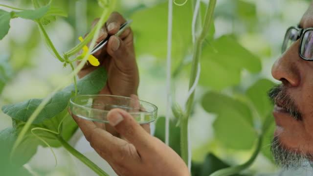 vídeos y material grabado en eventos de stock de ingeniero agrónomo senior hombre en trabajo de bata blanca supervisando el crecimiento de plántulas en invernadero. concepto de cuidado y protección de la planta. industria 4.0 - huerto