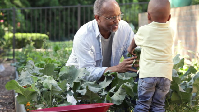 """MS, TU, Senior Man and Young Grandson Harvesting Vegetables in Home Garden, Richmond, Virginia, USA"""