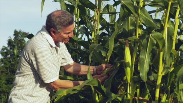 ms senior man checking corn crop in domestic garden / dorset, vermont, usa - モロコシ点の映像素材/bロール