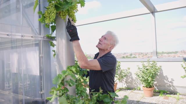 senior mann untersucht trauben in seinem garten - gärtnern stock-videos und b-roll-filmmaterial