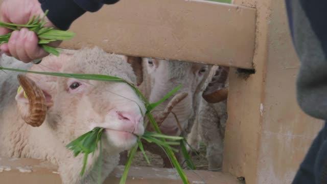 senior man feeding a sheep at farm - realisticfilm stock videos and b-roll footage