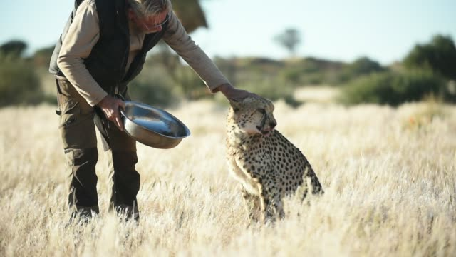 a senior man feeding and touching a cheetah in the wild - orphan stock videos & royalty-free footage
