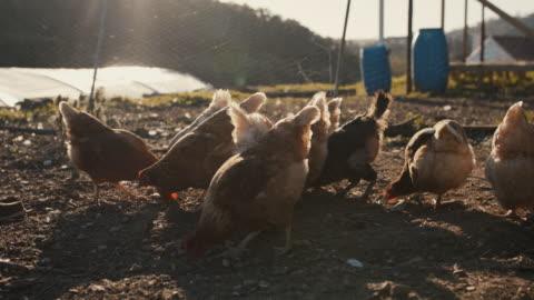 vídeos y material grabado en eventos de stock de senior man feeding chickens - ave de corral