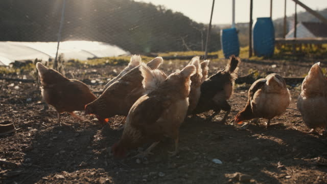 senior man feeding chickens - chicken bird stock videos & royalty-free footage
