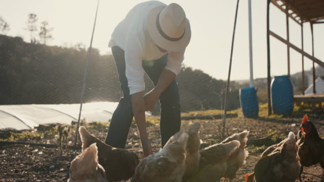 senior man feeding his chickens - animal themes stock videos & royalty-free footage