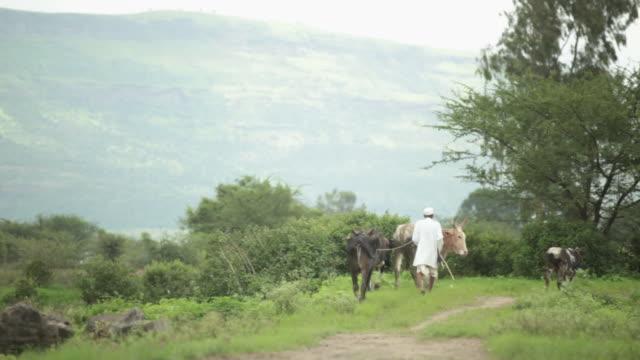 Senior man grazing herd of cows, Malshej Ghat, Maharashtra, India