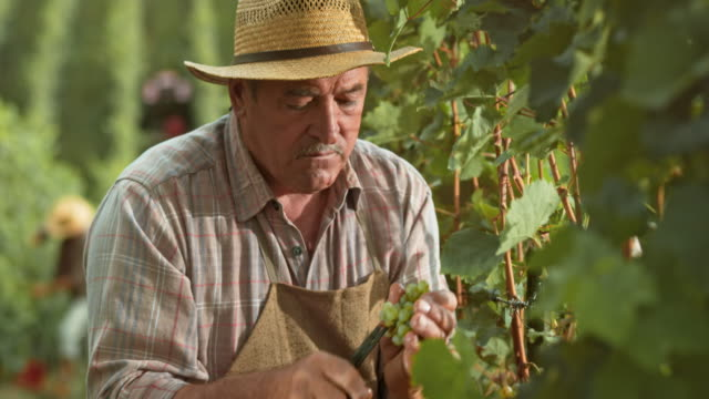Senior man hand harvesting grape clusters in sunshine